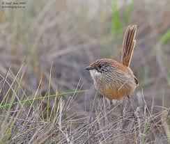 Short-tailed Grasswren (Flinders Ranges)
