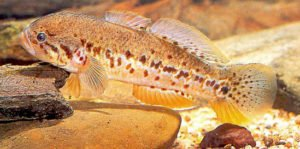 Spotted Gudgeon